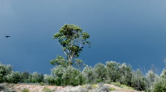 REAL CROWS CIRCLE THE LONE TREE IN WINDY CONDITIONS Stock Footage