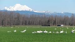 4K Swan Skagit Valley Stock Footage