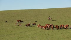 South american rancher gaucho with cows Stock Footage