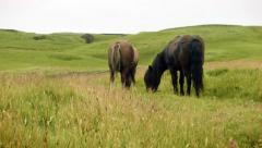 Icelandic Horses Grazing Stock Footage