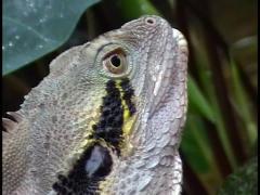 Stock Video Footage of Australian Lizard/Reptile