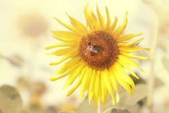 Sunflower in vintage color Kuvituskuvat
