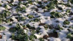 winter  agriculture field with snow and rapeseed plants - stock footage