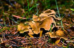 Brown mushrooms with yellow stalk in the autumn and forest Stock Photos