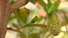 Jackfruit on tree in nature Stock Footage
