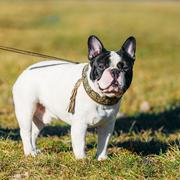 Beautiful French Bulldog Puppy Dog Pup Puppy Whelp Outdoor Stock Photos