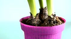 Hyacinthus flower Stock Footage