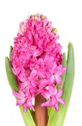 Pink Hyacinth isolated on white background Stock Photos