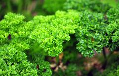 fresh green aromatic herbs in the garden - stock photo