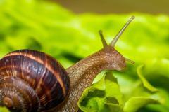 Snail [helix pomatia] eating and crawling on lettuce leaf Stock Photos