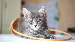 Blue tabby color Maine coon kitten. HD. 1920x1080 - stock footage