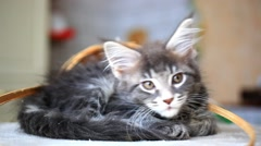 Stock Video Footage of Blue tabby color Maine coon kitten. HD. 1920x1080