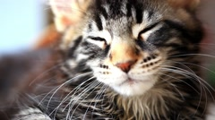 dormant Black tabby color Maine coon kitten close up. HD. 1920x1080 - stock footage