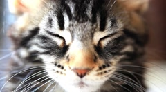 Dormant Black tabby color Maine coon kitten close up. HD. 1920x1080 Stock Footage