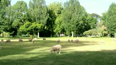 Sheep in New Zealand Stock Footage