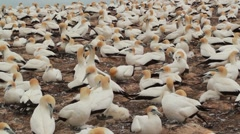 Gannet Colony New Zealand Stock Footage