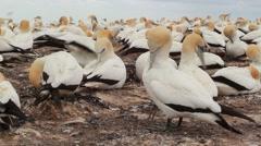 Gannet Colony New Zealand Stock Footage