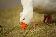 White goose outdoor in closep view, eating green grass - stock photo
