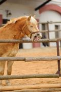 Hilarious horse in fence laugh loudly - stock photo