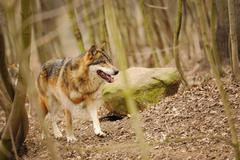 Wolf walking in the forrest on the brown ground Kuvituskuvat