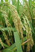 The ripe paddy field is ready for harvest - stock photo
