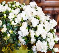 White azalea flowers bouquet - stock photo