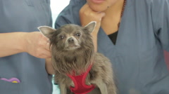 Cute Chihuahua Dog Veterinary Doctor Visit, Adorable Stock Footage