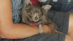 Veterinary Visit Chihuahua Anxiously Waiting Stock Footage