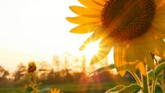 Sunflower field during sunset, Tilt down camera Stock Footage