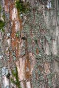 Elm wood texture Stock Photos