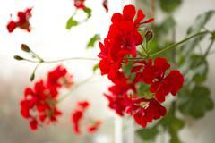 Red garden geranium flowers - stock photo