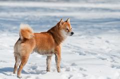 dirty shiba inu dog on snow - stock photo