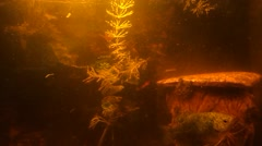 The moving fish at the same place and the moving plant in the dim water Stock Footage