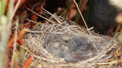 Nest and chicks of Plumbeous Sierra Finch (Phrygilus unicolor) Stock Footage