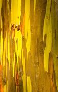 Detail of colorful bark of Rainbow Eucalyptus tree - stock photo