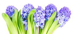Row of blue hyacinth flowers  isolated on white background Stock Photos