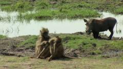 Baboons  & Wild Hog Stock Footage