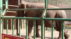 Asian elephant at zoo (Elephas Maximus) Stock Footage