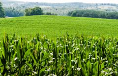 Corn field against rolling hills - stock photo