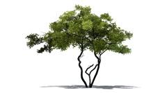 Lemon tree in strong wind Stock Footage