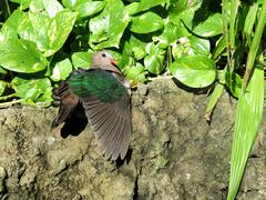 green-winged dove is a bird of south east asia - stock photo