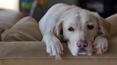 Yellow lab falls asleep on back of couch, RIGHT, 4K - stock footage