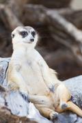 Alert meerkat (Suricata suricatta) sitting and relax on tree as guard Stock Photos