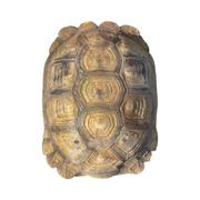 Tortoise shell brown color from giant turtle on white background, closeup - stock photo