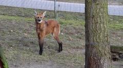 Maned wolf Chrysocyon brachyurus Stock Footage