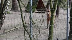 Maned wolf Chrysocyon brachyurus 2 Stock Footage