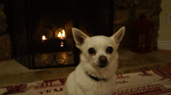 Adorable dog sitting by fire enjoying life (chihuahua mix) Stock Footage