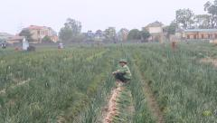 Agricultural field with onion Stock Footage