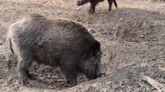 Wild boar ( Sus scrofa ) 2 Stock Footage