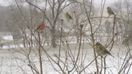 Stock Video Footage of Close up multiple varieties of Missouri winter birds coming and going